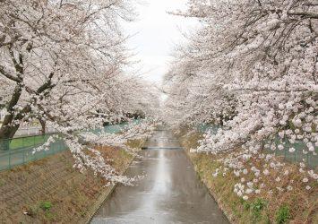 東坂戸の桜 埼玉の風景