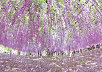 大藤の咲く風景 あしかがフラワーパーク 栃木の風景
