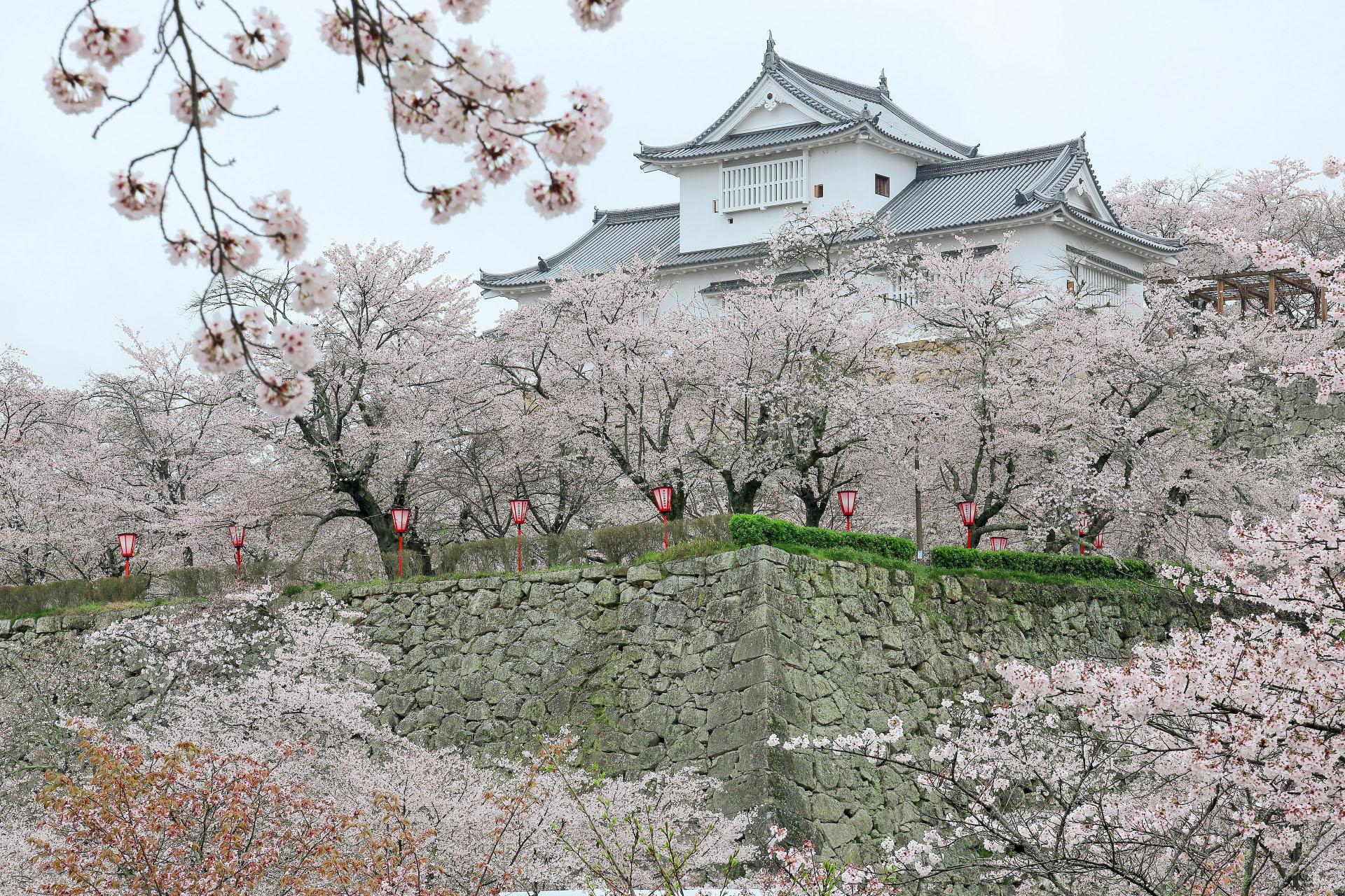 桜と津山城 岡山の風景