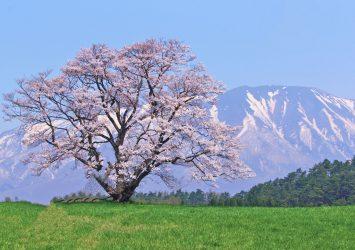 小岩井農場の一本桜と岩手山 岩手の風景