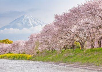 日本の春の美しい風景 富士と桜