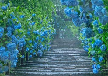 雨の日の鎌倉の風景 明月院と紫陽花 神奈川の風景