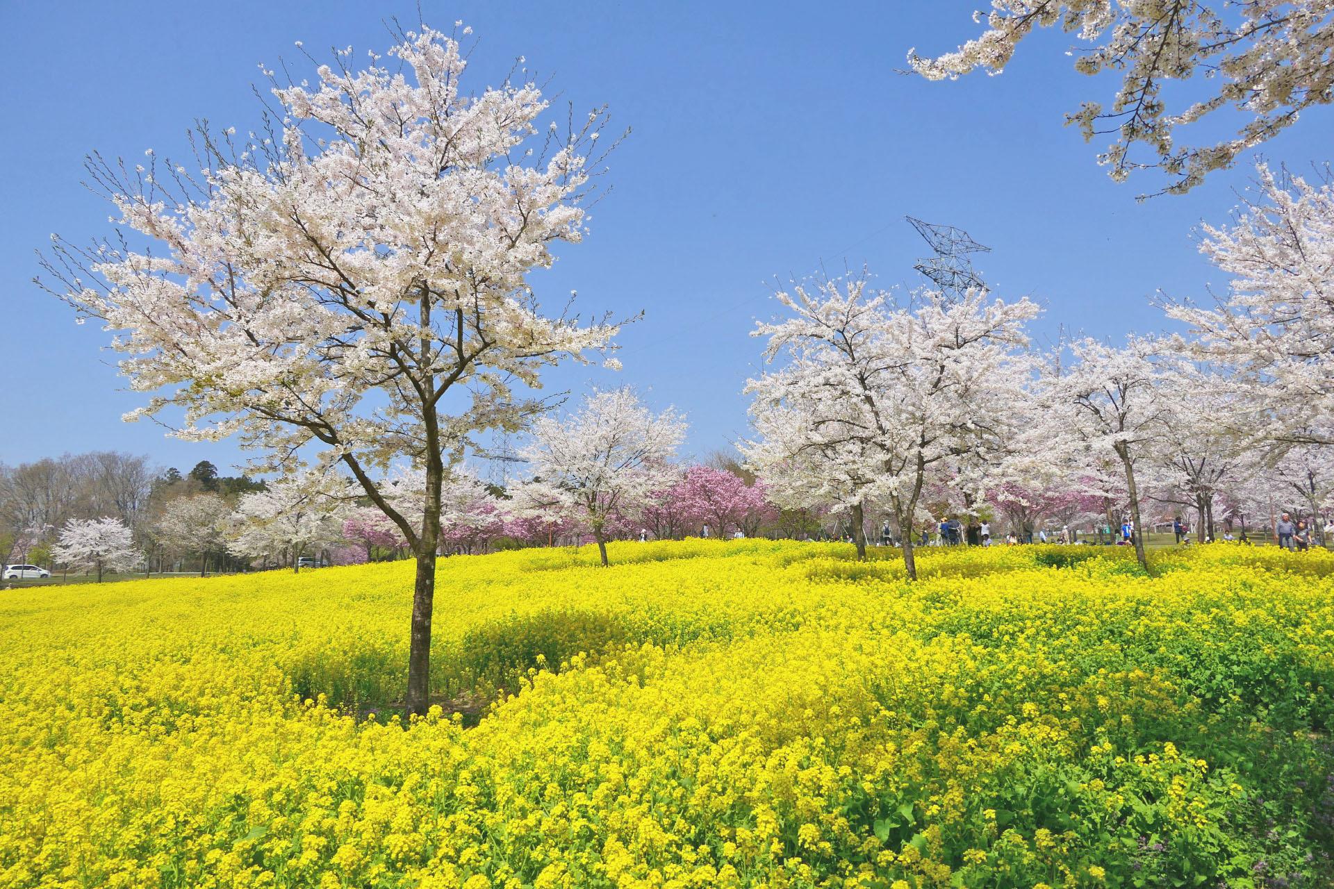 桜と菜の花の風景 赤城南面千本桜 群馬の風景
