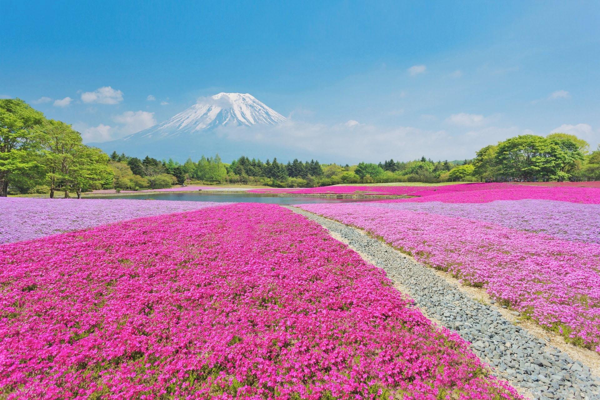 富士芝桜 シバザクラと富士山 山梨の風景