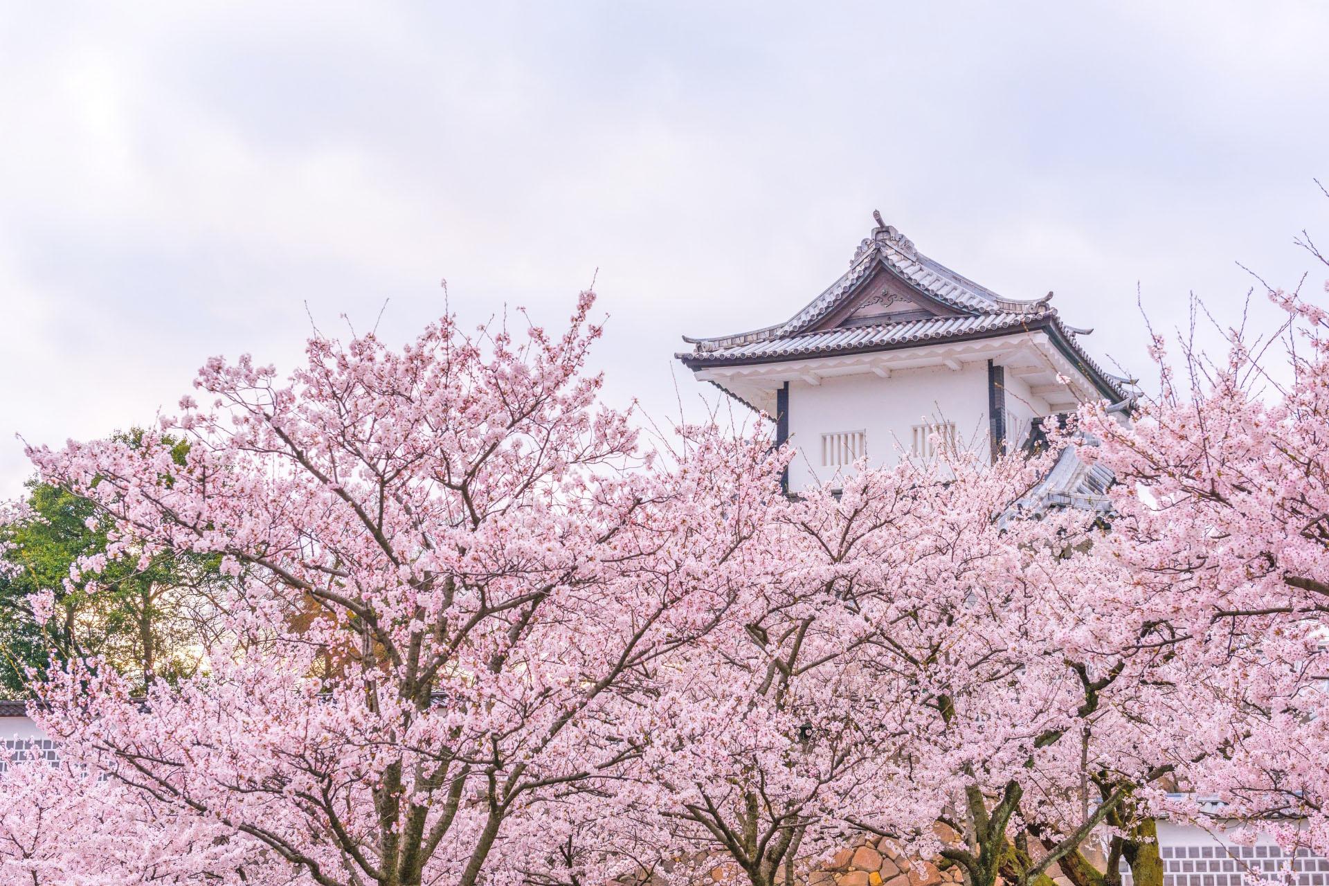 春の金沢城 桜と金沢城の風景 石川の風景
