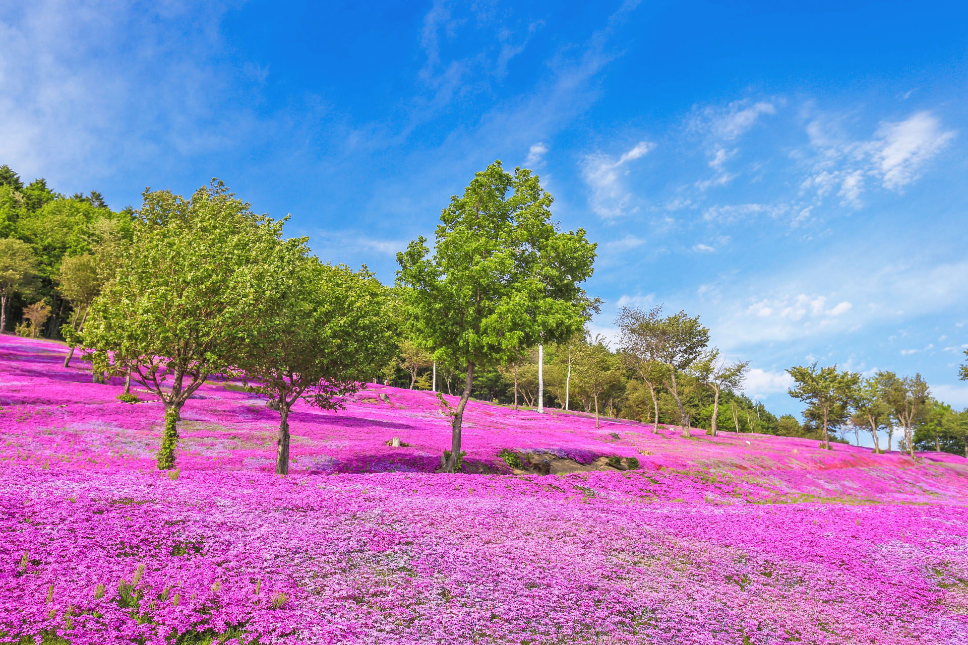 滝上の芝桜の風景 北海道の風景