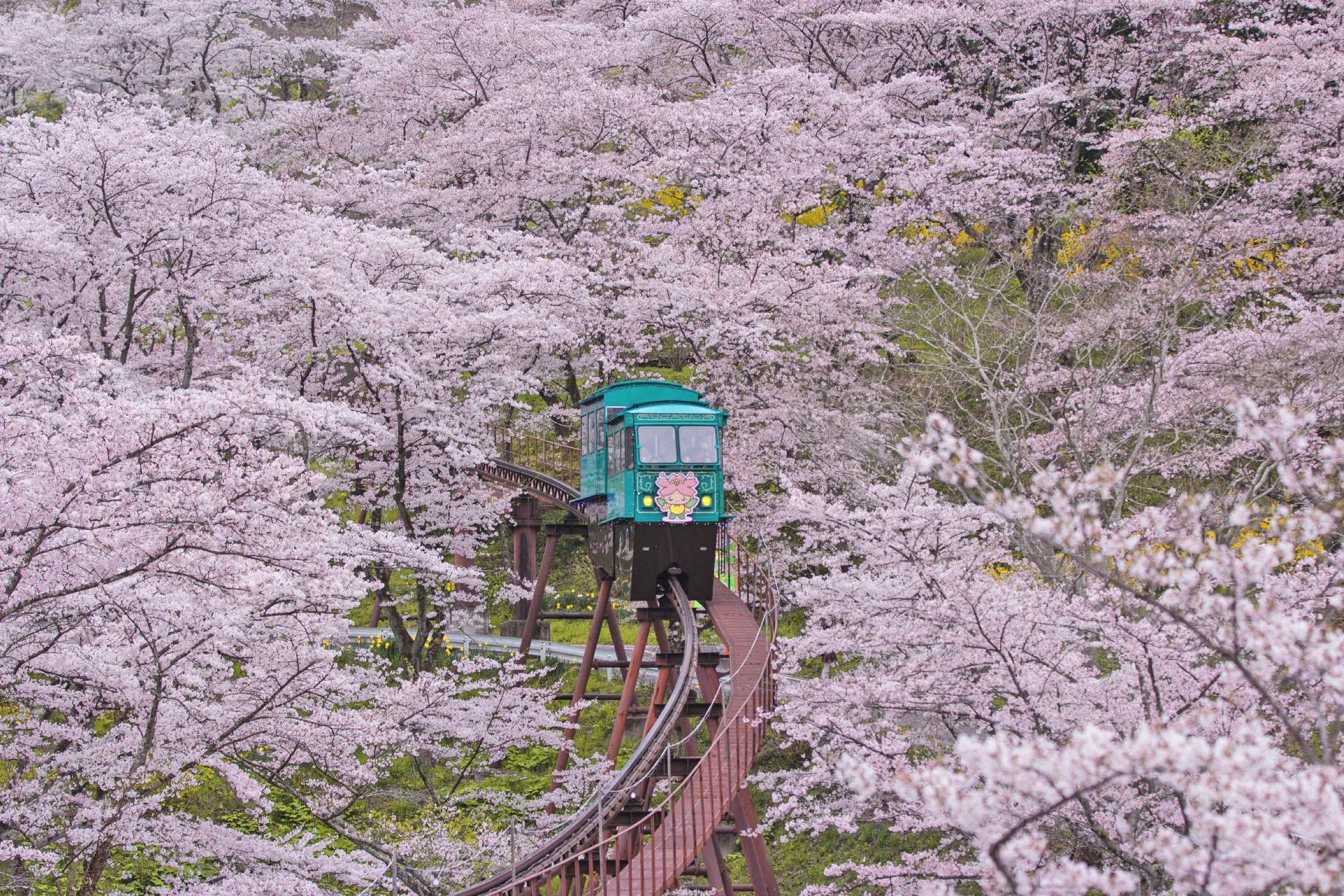 船岡城址公園の桜の風景 宮城の風景