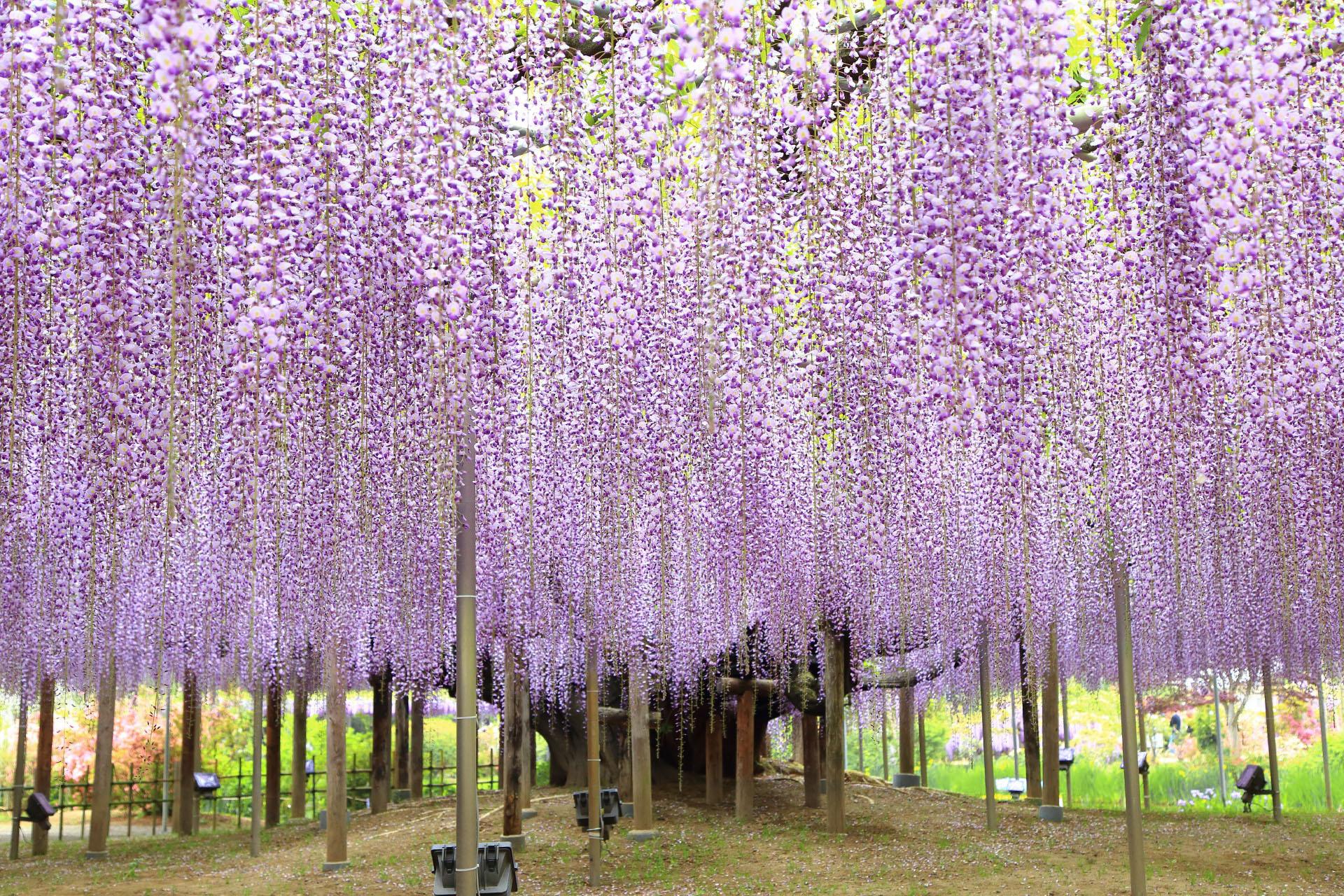 藤の咲く風景 あしかがフラワーパーク 栃木の風景