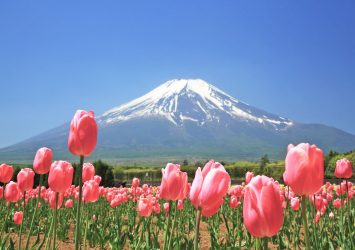 チューリップと富士山の風景 山中湖花の都公園 山梨の風景
