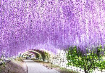 河内藤園の藤のトンネル 福岡の風景