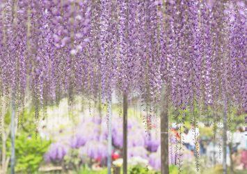 あしかがフラワーパークの藤の花 栃木の風景