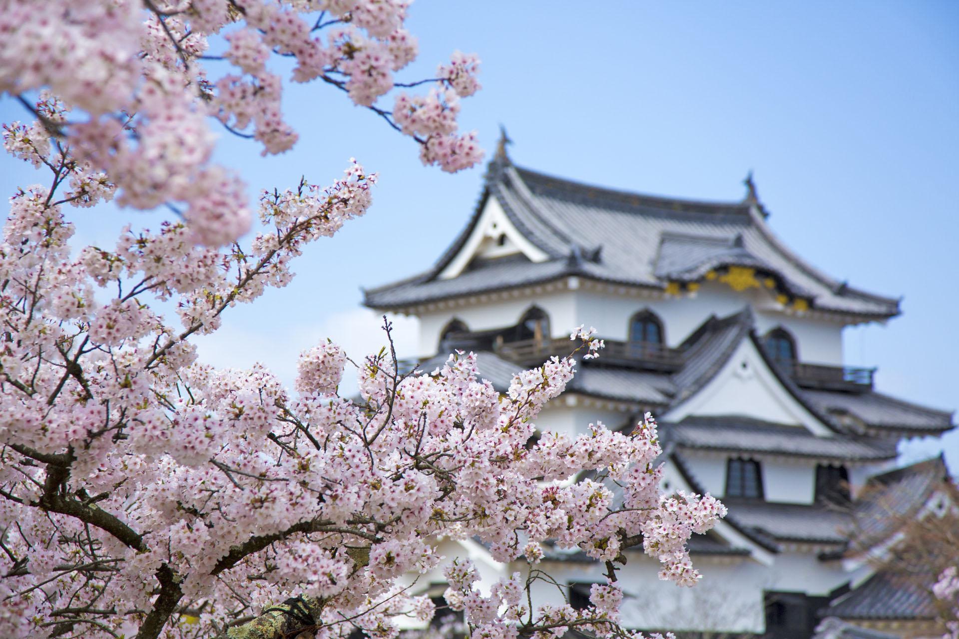 桜と彦根城 滋賀の風景