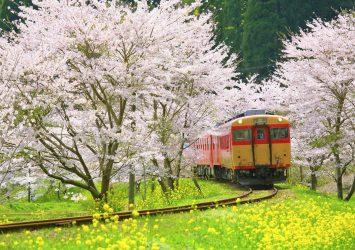 いすみ鉄道と桜と菜の花の風景 千葉の風景