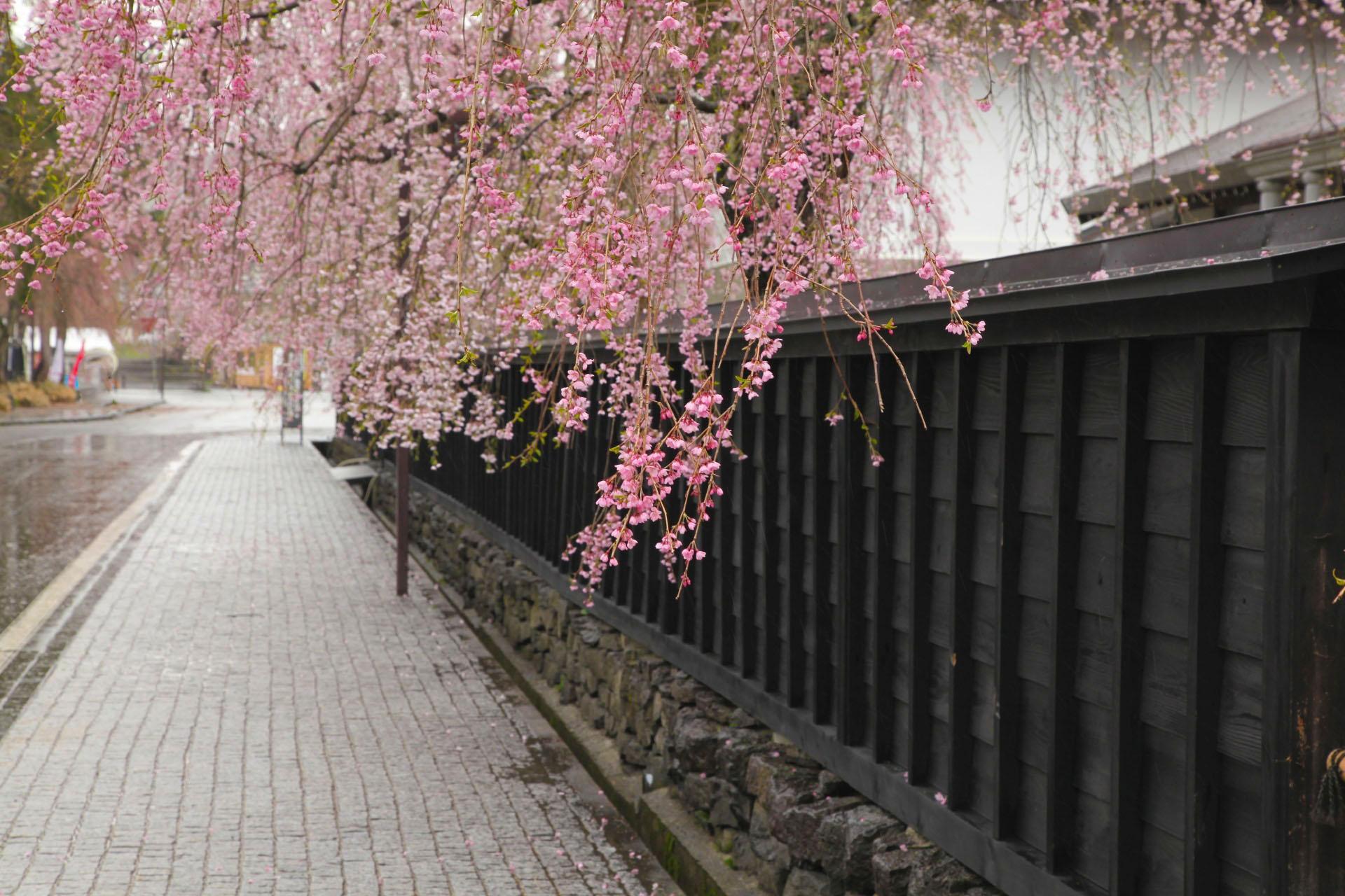角館 武家屋敷としだれ桜の風景 秋田の風景