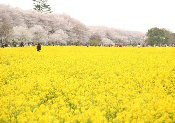 幸手権現堂桜堤の桜と菜の花の風景 埼玉の風景