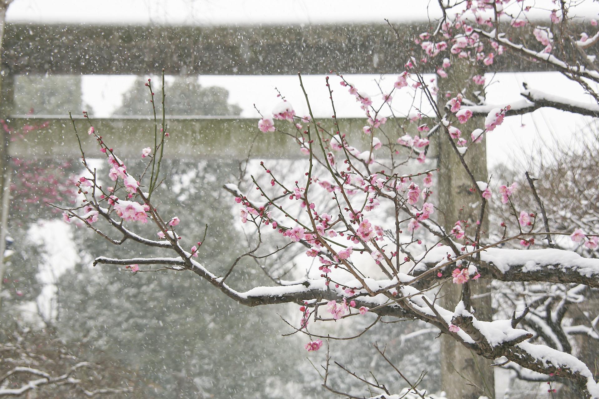 梅の花と雪の五條天神社 東京の風景
