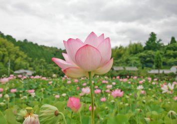 蓮の花の咲く風景 大分の風景