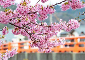 河津桜の風景 静岡の風景