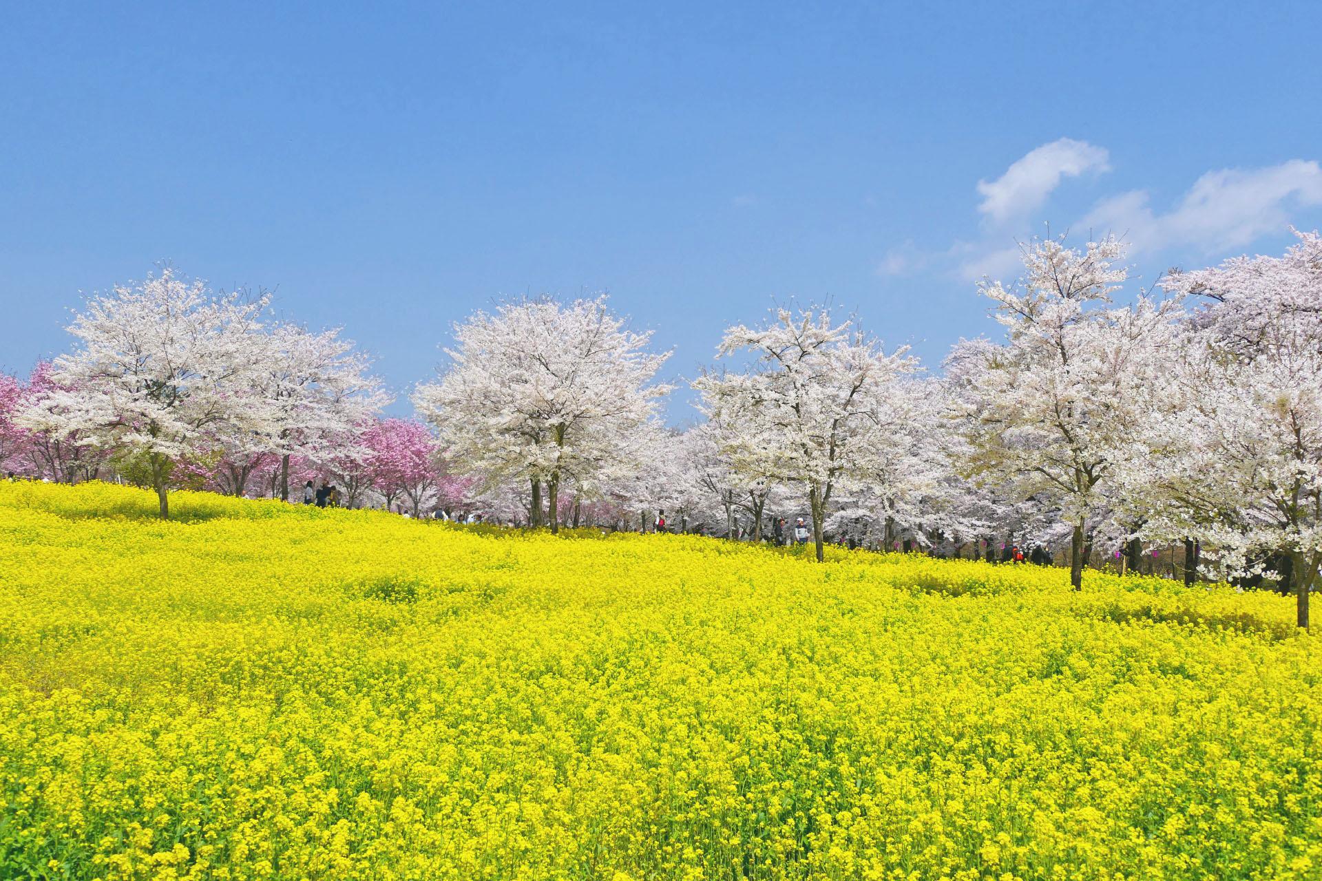 赤城南面千本桜と菜の花の風景 群馬の風景