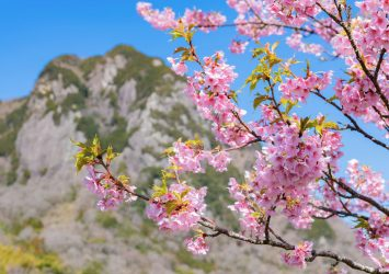 城山桜 静岡の風景