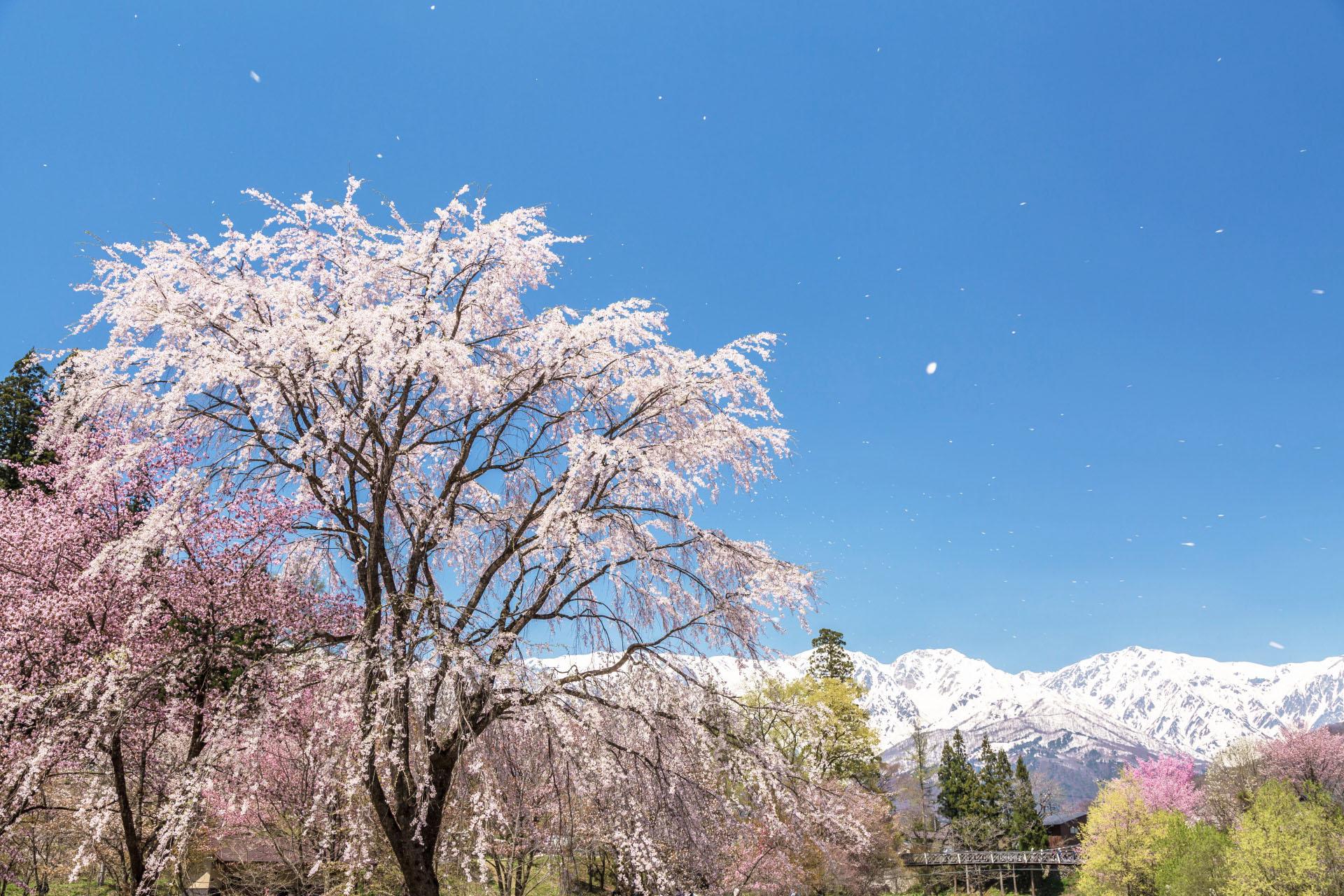 桜と白馬連峰 長野の風景