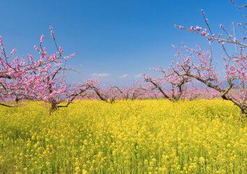 菜の花と桃の花の咲く風景