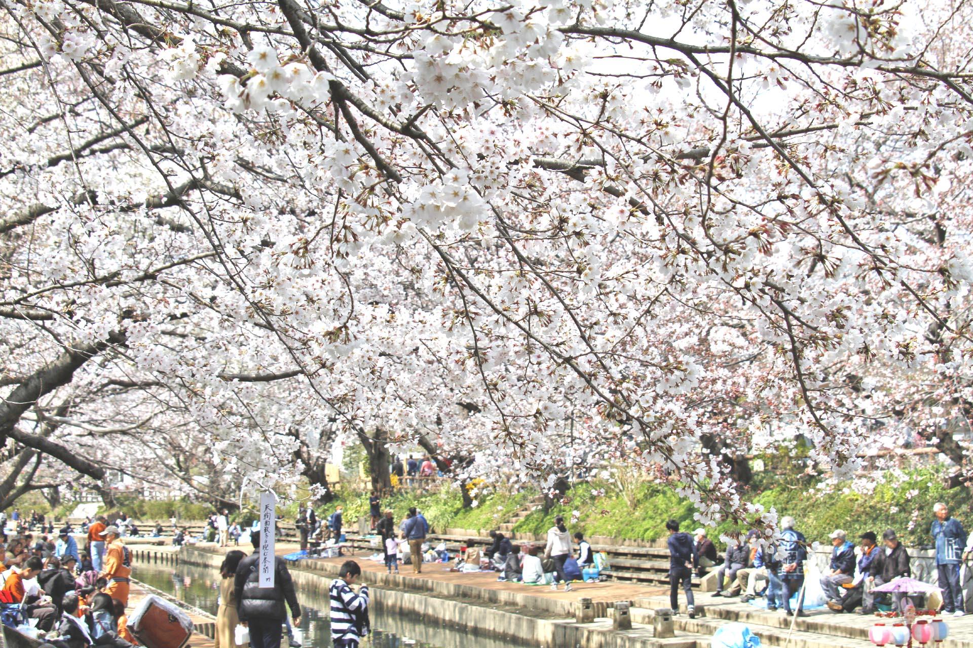 吹上 元荒川の桜 埼玉の風景