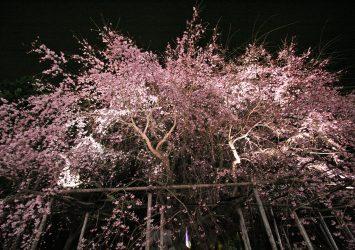 六義園のしだれ桜 東京の風景