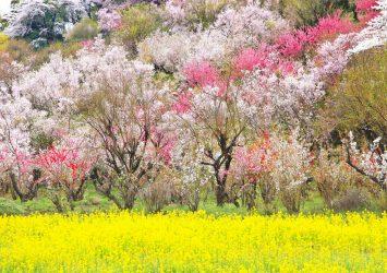菜の花と桃と桜 花見山公園 福島の風景