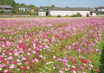 コスモスの咲く風景 香川の風景
