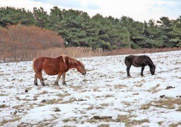 雪の上で草を食べる寒立馬 青森の風景