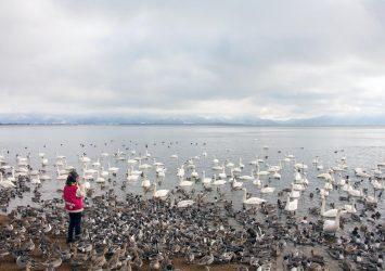 真冬の猪苗代湖とハクチョウ 福島の風景