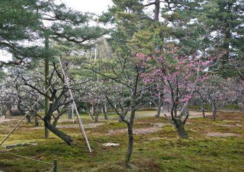 春の金沢の風景 兼六園の梅 石川の風景
