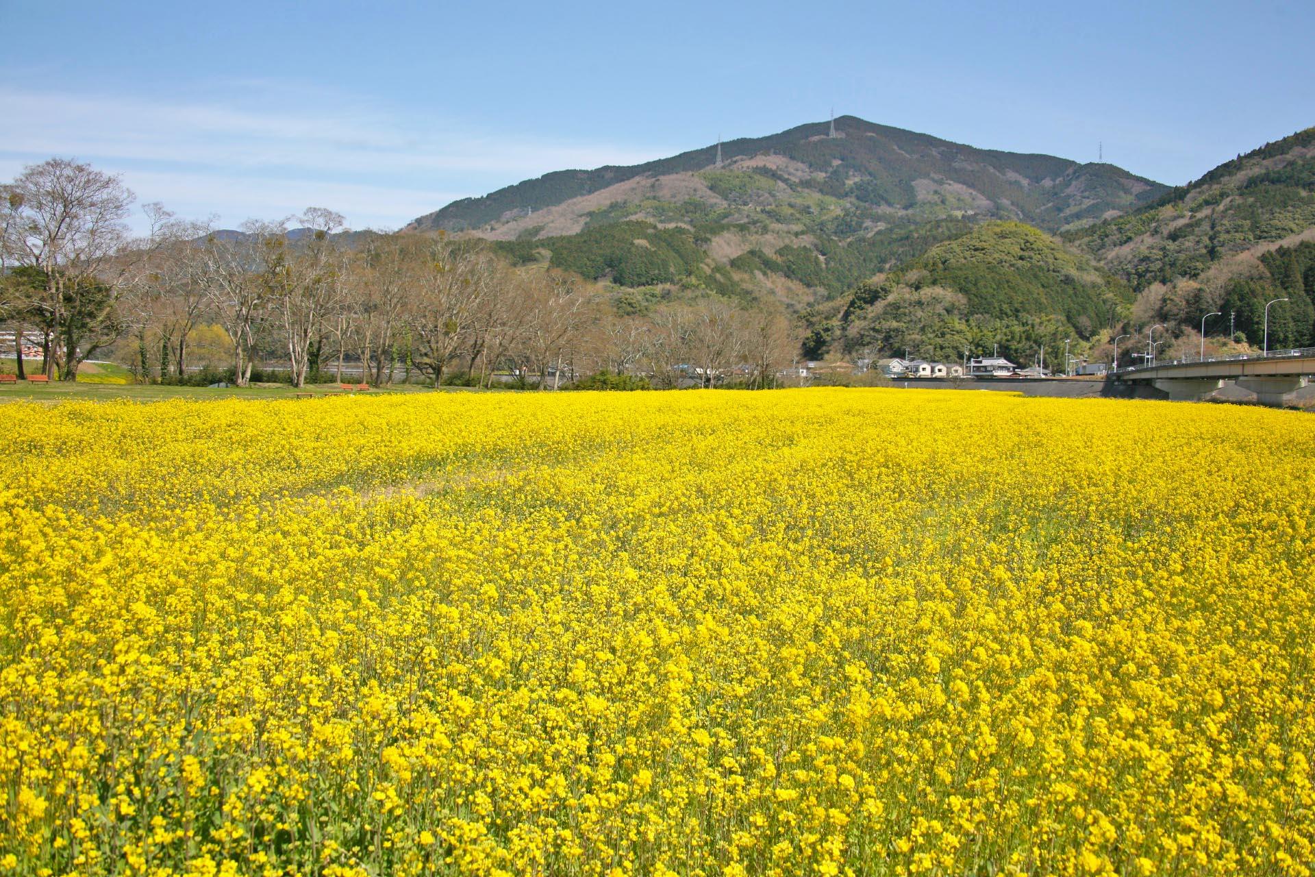 春の大洲 菜の花の風景 愛媛の風景