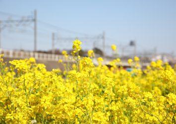 菜の花の風景 埼玉の風景