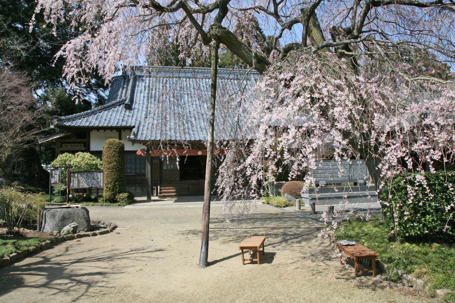 蒼龍寺のしだれ桜 茨城の風景
