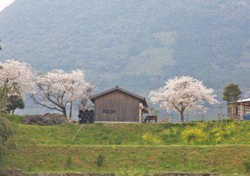 桜と菜の花と馬のいる風景 福岡の風景